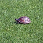 Baby turtle sunning on the tee box